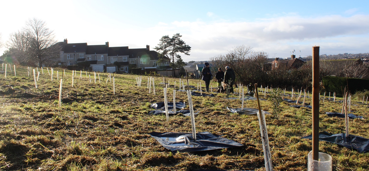 Feild of newly planted trees